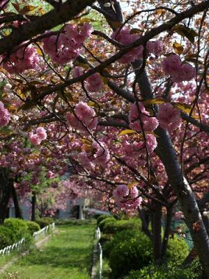 八重桜いっぱい~