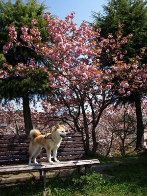八重桜とさくら