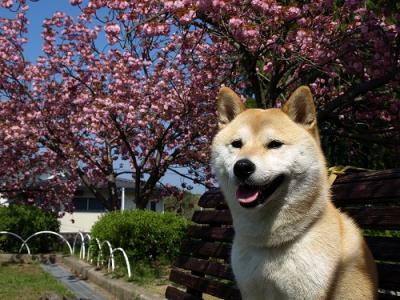 角度を変えて、八重桜とさくら♪