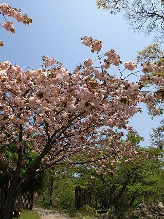 まだ桜も咲いてるね♪
