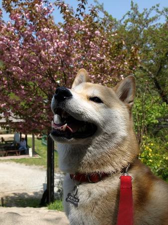 桜&さくらのコラボ!