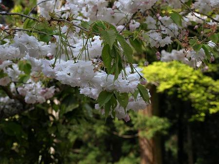 やっぱりここでも桜が楽しめました!