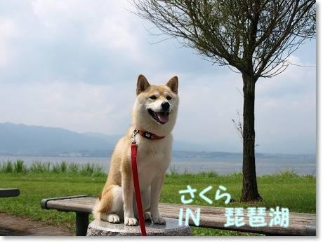 さくら、初琵琶湖でした~