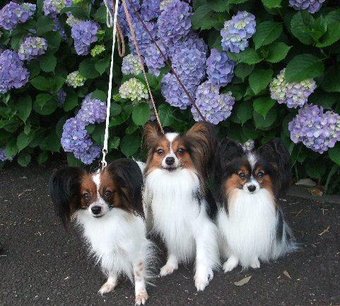 3papi flower azisai