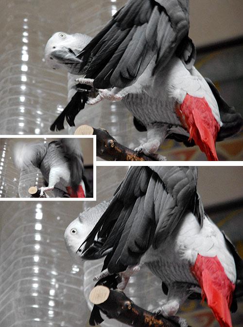 羽根を握って羽繕いするJean-Luc