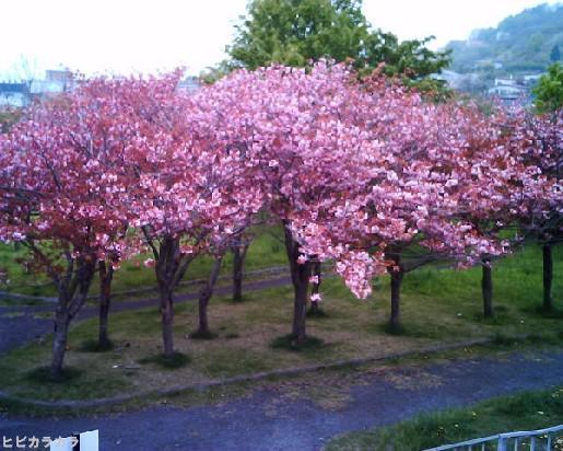 この桜が散る頃に。