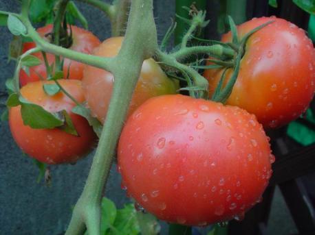 W61S 庭のトマト♪おいしそ(^-^)♪♪