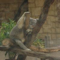 お昼寝コアラ