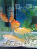 宇宙金魚の子孫たち