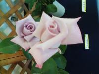 スプレ-タイプのバラ