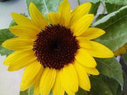 mini sun flower