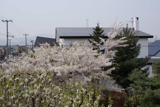 2008年庭の桜