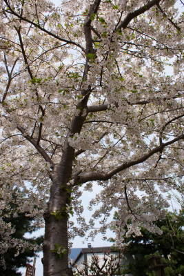 2008年庭の桜2