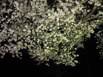 飛騨の夜桜その1