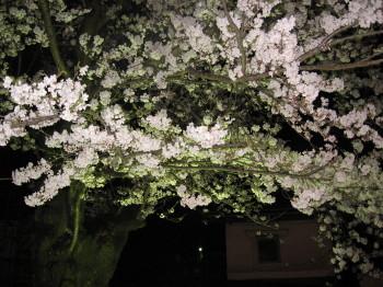 飛騨の夜桜その2