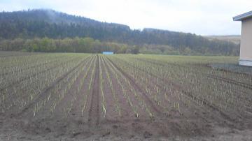 茂住家のタマネギ畑