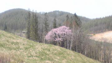丘に咲くサクラ