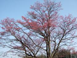 080502桜①