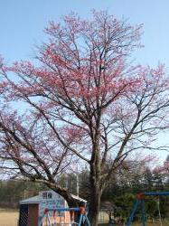 080502桜②