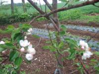 080602リンゴの花