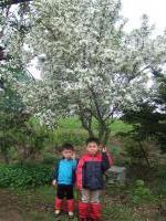 080602リンゴの木と