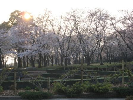 2008.3.26桜