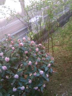 裏庭沈丁花