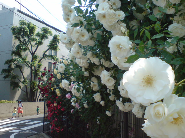 今年のバラ2