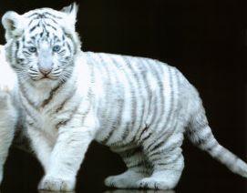 白虎タイガー