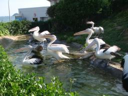 鴨川シーワールド ペリカンの池