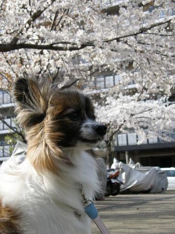 マンションの桜と1