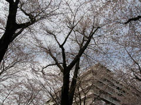お山の桜1