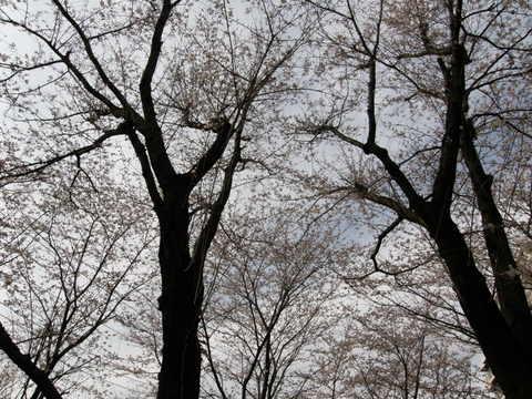 お山の桜2