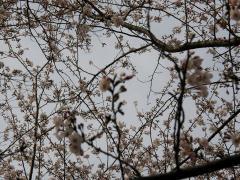 お山の桜3