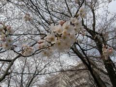 お山の桜4