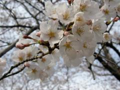 お山の桜5