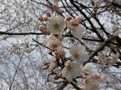 お山の桜6