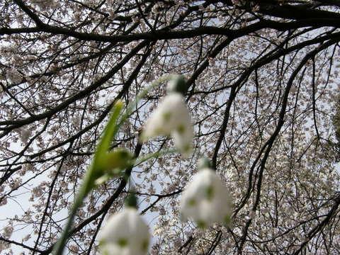スノードロップと桜
