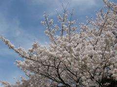 土曜日の桜3