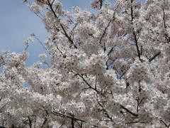 土曜日の桜4