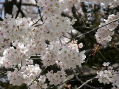 土曜日の桜5