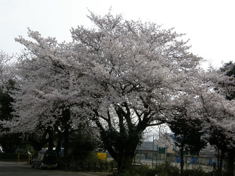 日曜日の桜1