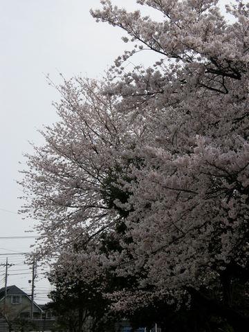 日曜日の桜2