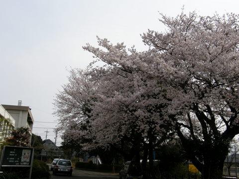 日曜日の桜3