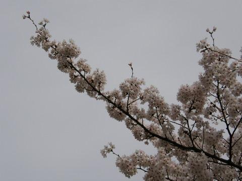 日曜日の桜4