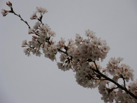 日曜日の桜5