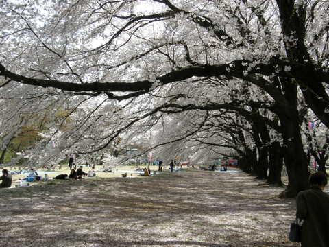 立派な桜1