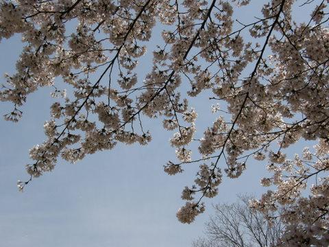 立派な桜2