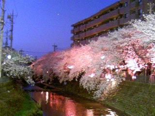 20331桜