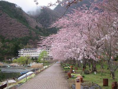 河口湖桜並木